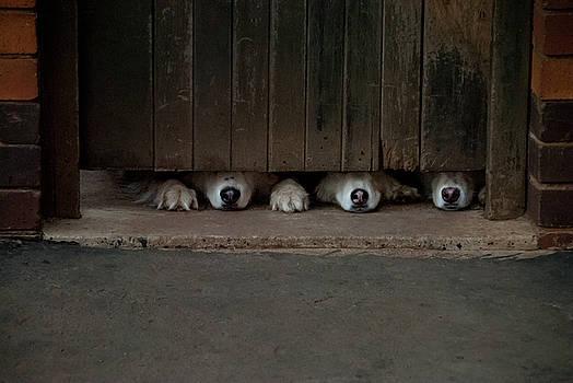 Huskies Under The Wooden Door by Vladan Radulovic