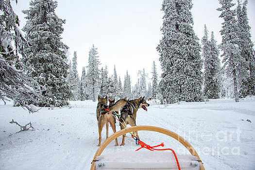 Husky Sledding by Delphimages Photo Creations