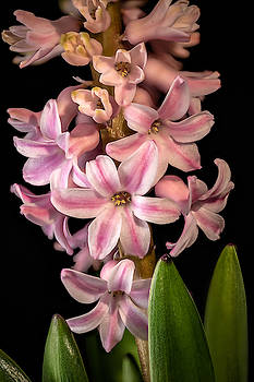 Hyacinth by Fred J Lord