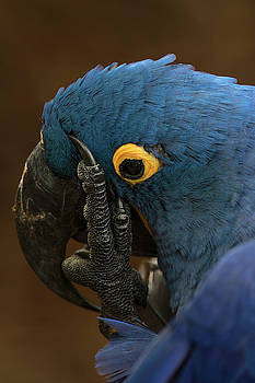 Hyacinth Macaw giving the finger by Darrell Gregg