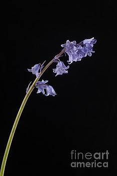 Hyacinthoides hispanica by John Edwards