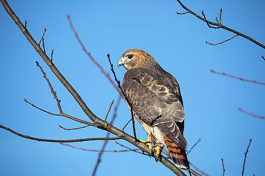 Hybrid Hawk by Brian Hale