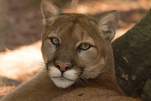 Florida Panther I am the Boss by Darrell Gregg