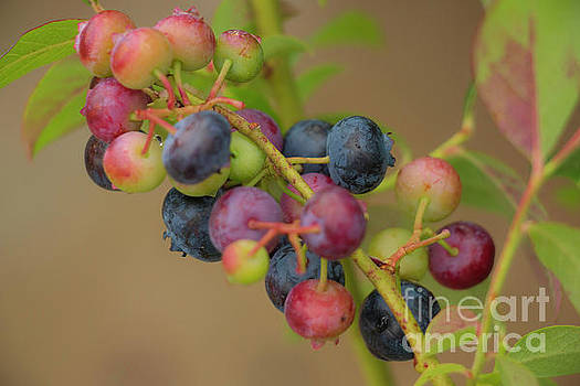 I Love Blueberries  by Sharon Mayhak
