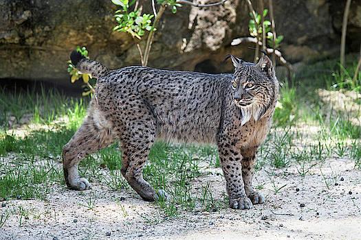 Iberian Lynx Looking Back by Fred Hood