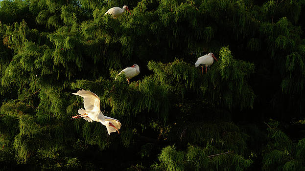 Ibis in Flight Green Cay Wetlands Florida by Lawrence S Richardson Jr