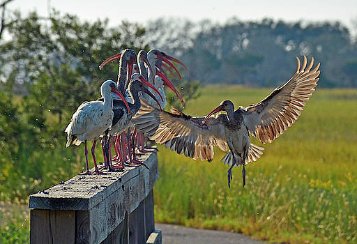 Ibis Joining Featured Friends on Jekyll Island by Bruce Gourley