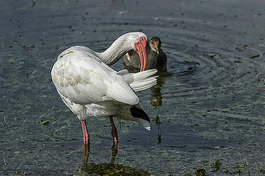 Ibis Preening with a watcher by Darrell Gregg