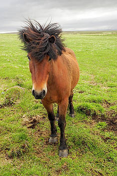 Icelandic Horse with Tousled Mane by Marla Craven