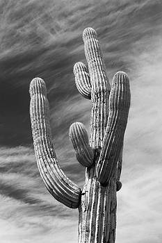 Iconic Saguaro Cactus B W by David T Wilkinson