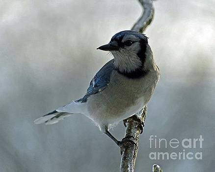Cindy Treger - Icy Landing - Blue Jay