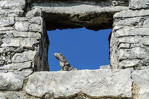 Iguana at Tulum Ruins by Dave Matchett