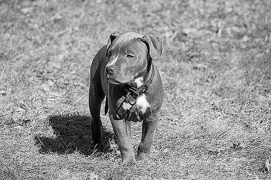 I'm A Big Pittie Now by Andrea Swiedler