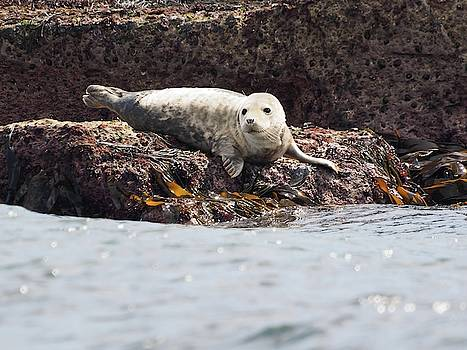 Harbor Seal - Supporting World Wide Fund For Nature by James Lamb