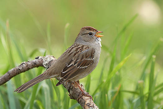 immature White-crowned Sparrow by Doug Herr