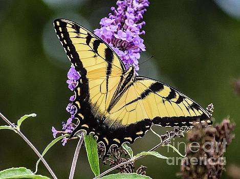 Impeccable Eastern Tiger Swallowtail by Cindy Treger