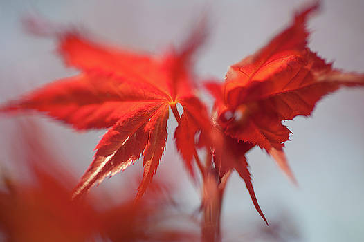 Jenny Rainbow - Imperfect Perfection. Red Maple Leaves Abstract 1