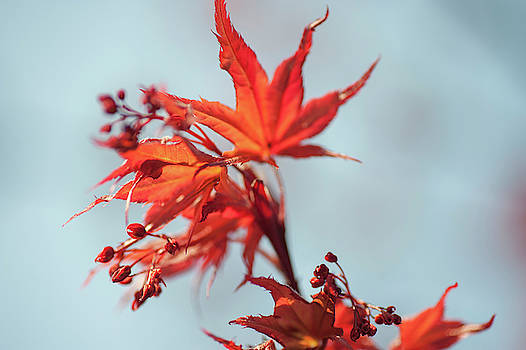 Jenny Rainbow - Imperfect Perfection. Red Maple Leaves Abstract