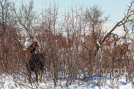 In Ninilchik a moose grazes in the village in late winter by Louise Heusinkveld