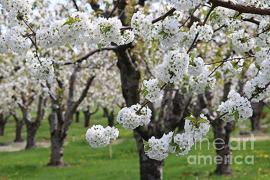 In the Cherry Orchard by Carol Groenen