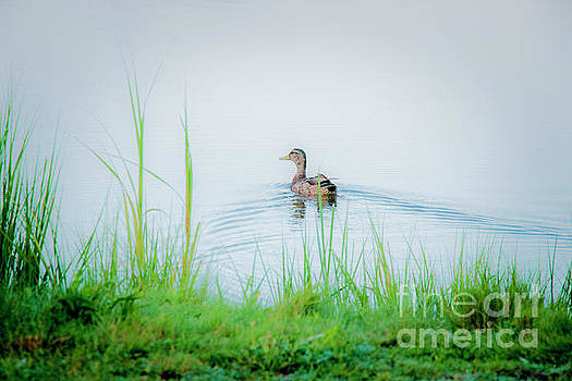 In The Ducks Wake by Sharon Mayhak