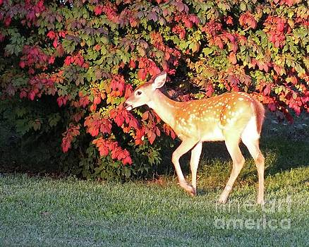 Cindy Treger - In The Spot Light - White-Tailed Fawn