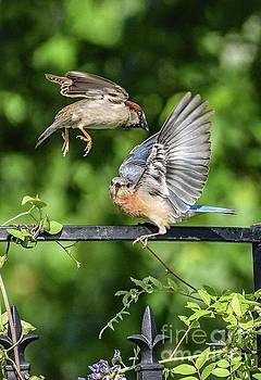 Incoming House Sparrow And Eastern Bluebird by Cindy Treger