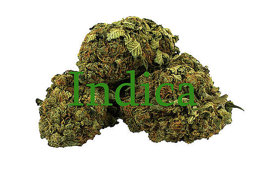 Indica by Pat Cook