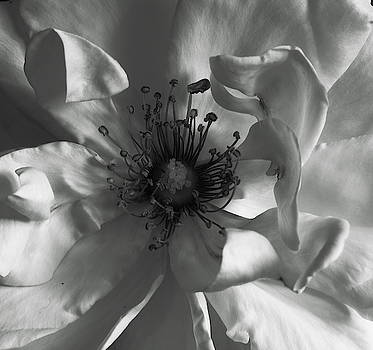 Inner White Rose Monochrome by Jeff Townsend