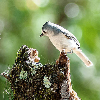 Inquisitive Titmouse by Norman Johnson