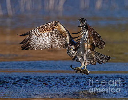 Intense Osprey by Beth Sargent