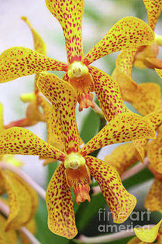 Intriguing Yellow Spider Orchids by Rory Ivey