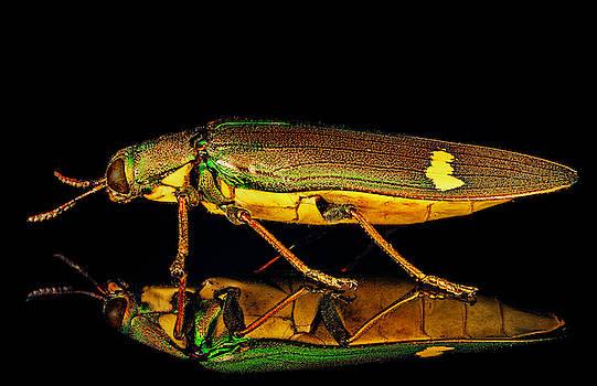 Iridescent Jewel Beetle by Gary Shepard