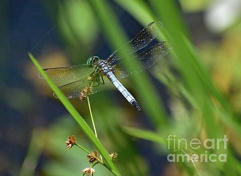 Cindy Treger - Iridescent Wings Of A Blue Dasher Dragonfly