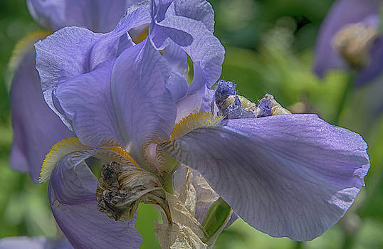 Iris by Alan Goldberg