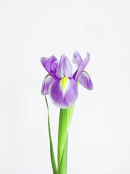 Iris by Cassia Beck