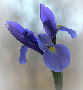 Iris Flower  by Mary Lynn Giacomini