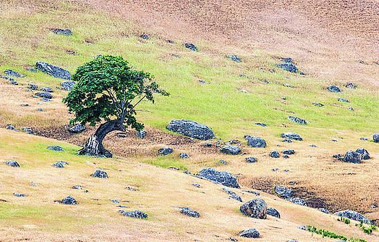 Isolated Maple Tree by Jordan Hill