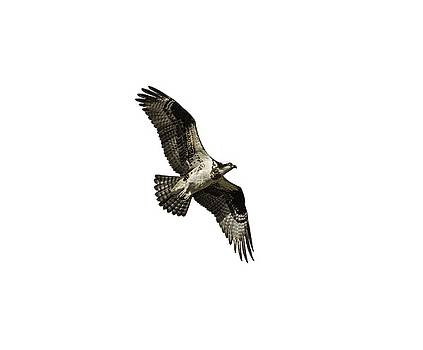 Isolated Osprey 2019-2 by Thomas Young