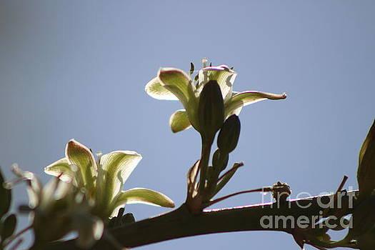 Ivory Hesperaloe Parviflora Flower Against Desert Sky by Colleen Cornelius