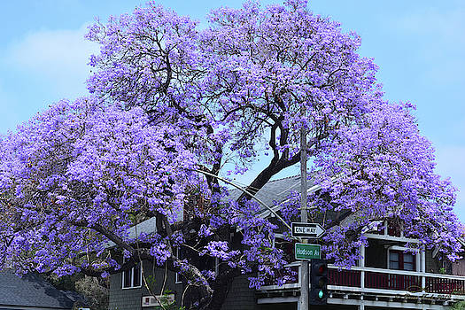 Jacaranda Tree, Pasadena, California by Brian Tada