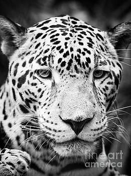 Tim Hester - Jaguar Cat Portrait Black and White