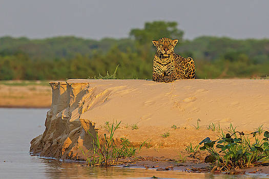Jaguar on the sand by Jean-Luc Baron