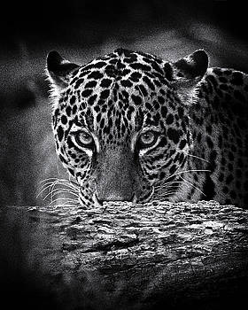 Jaguar Stare by Fred Hood