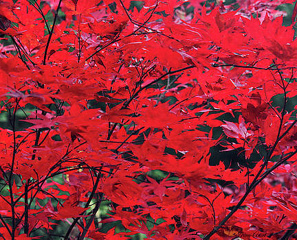 Japanese Maple in the Fall by Trina Ansel