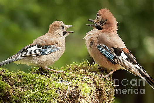 Simon Bratt Photography LRPS - Jay bird parent with young close up
