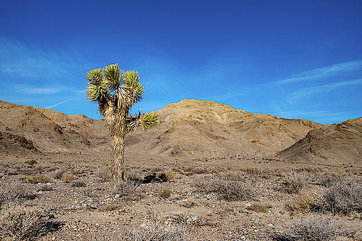 William Dickman - Joshua Tree in Death Valley