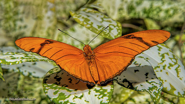 Julia Heliconia Longwing Orange Butterfly  by LeeAnn McLaneGoetz McLaneGoetzStudioLLCcom