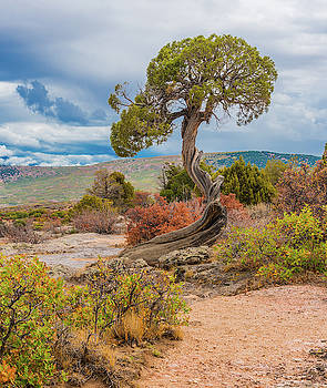 Juniper At Dragon Point by Tom Potter