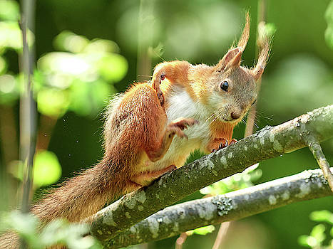 Just feeling the bugs running around. Red squirrel by Jouko Lehto